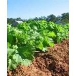Горчица салатная – растение без недостатков