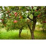 Где лучше посадить яблоню